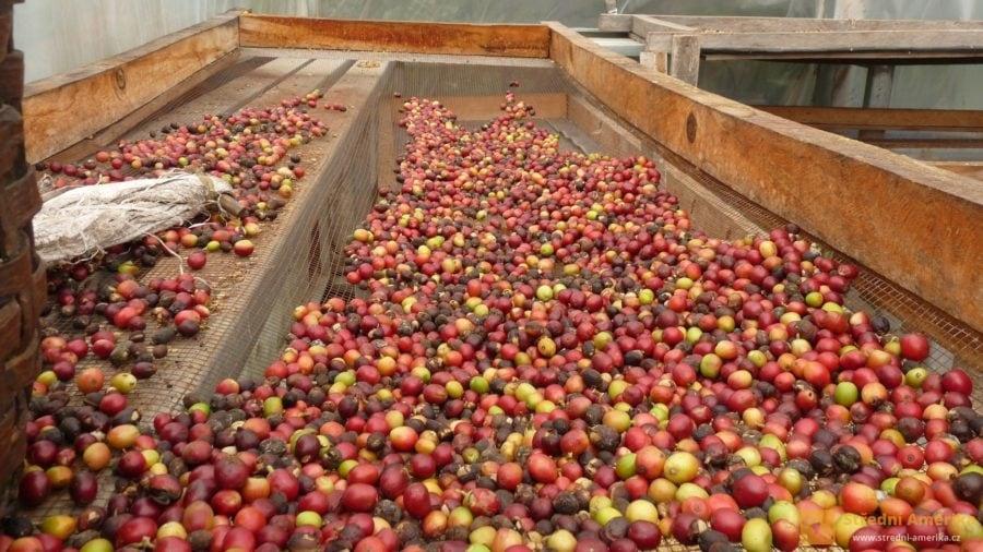 Tradiční zpracování plodiny na soukromé kávové plantáži
