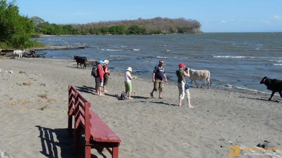 Ometepe: Volně procházející dobytek neutekl majiteli, jen se šel napít k jezeru.