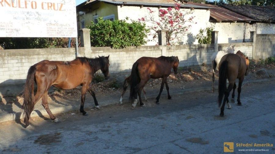 Koně, skot, vepři. Pohybují se ulicemi osad a po silnicích. Nikdo nepochybuje, že mají absolutní přednost.