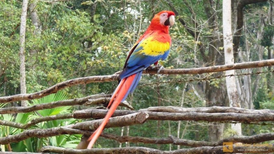 V archeologickém parku v Copánu volně žijí papoušci ara, které tam uměle vysadili ochránci přírody.